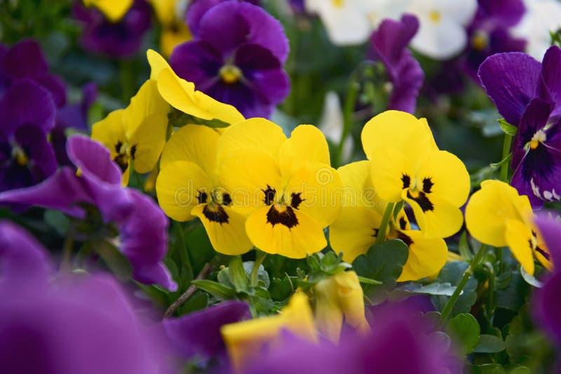 Canteiro de flores de flores multi-coloridas do amor perfeito no jardim foto de stock