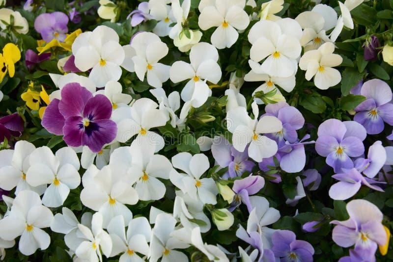 Canteiro de flores de flores multi-coloridas do amor perfeito no jardim fotografia de stock royalty free