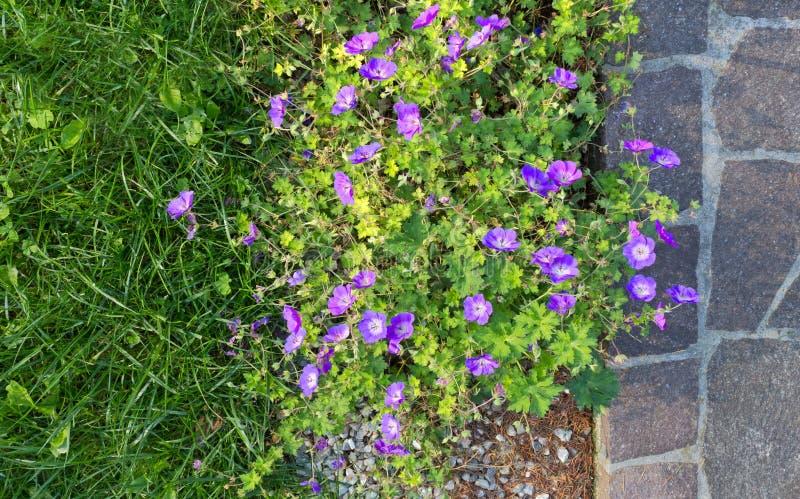 Canteiro de flores roxo do gerânio ao lado de um passeio do pórfiro fotos de stock