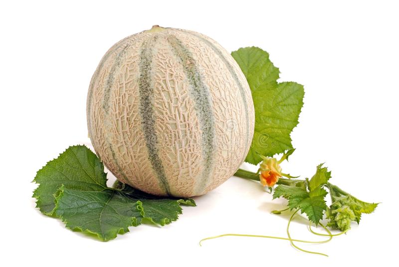 451 Cantelope Photos Free Royalty Free Stock Photos From Dreamstime Cantaloupes are packed with vitamins a and c, and since they have high water content, they like other melons, cantaloupe has a high water content (about 90 percent), but. 451 cantelope photos free royalty