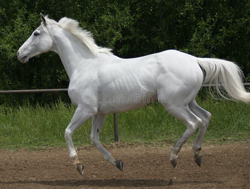 Download Canter koń white obraz stock. Obraz złożonej z prędkość - 135783