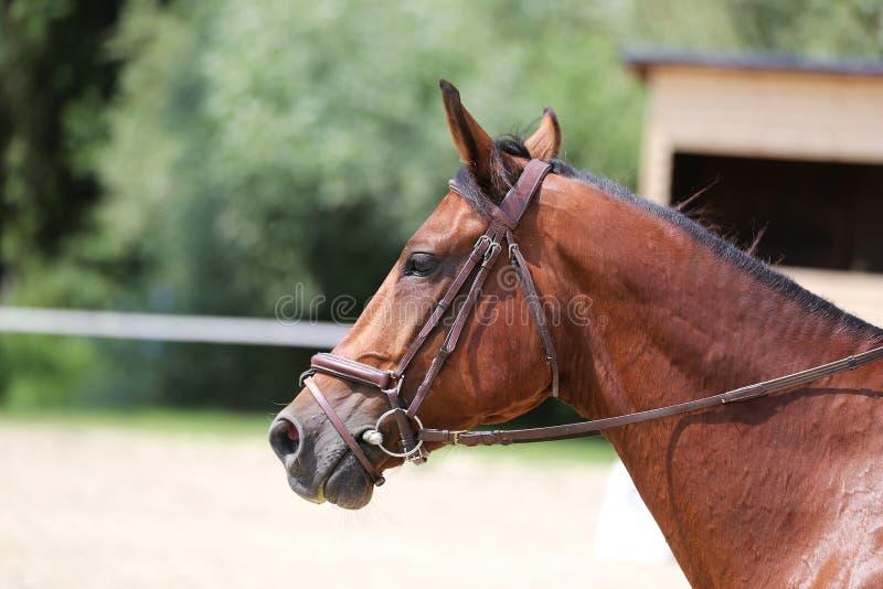Canter novo bonito do cavalo do esporte durante o treinamento fora fotos de stock royalty free