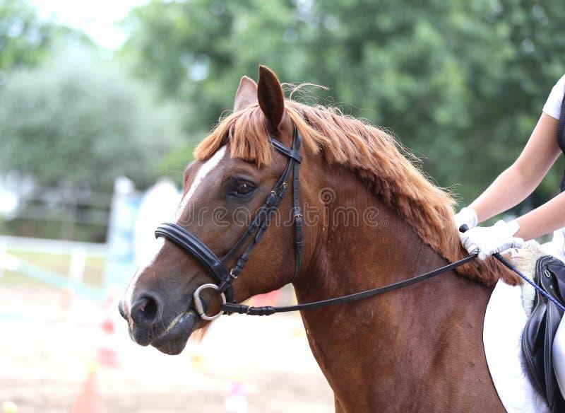 Canter novo bonito do cavalo do esporte durante o treinamento fora foto de stock royalty free