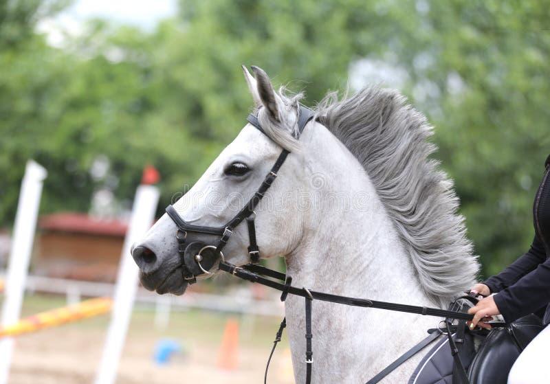 Canter novo bonito do cavalo do esporte durante o treinamento fora imagem de stock