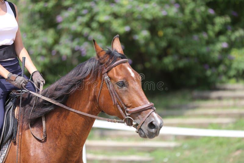 Canter novo bonito do cavalo do esporte durante o treinamento fora fotos de stock
