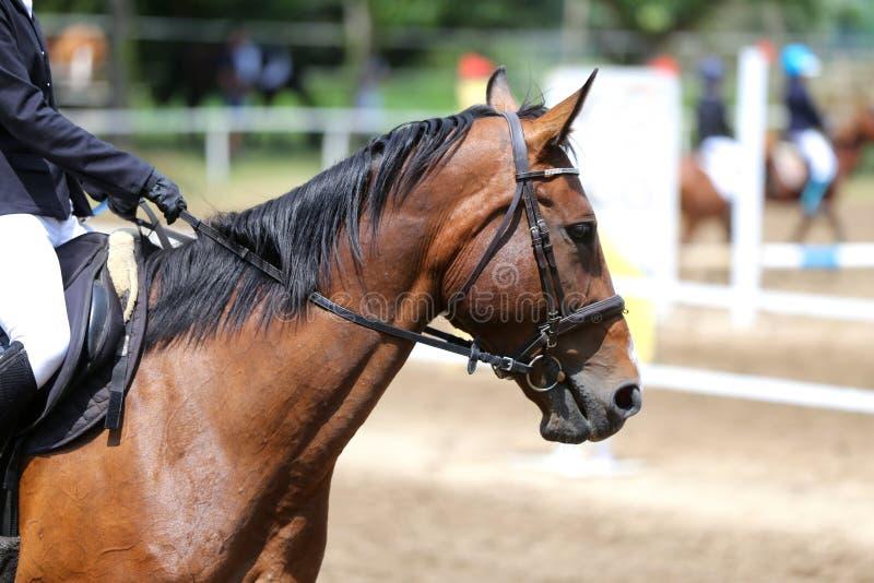 Canter novo bonito do cavalo do esporte durante o treinamento fora imagens de stock