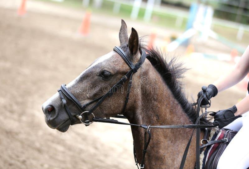 Canter novo bonito do cavalo do esporte durante o treinamento fora imagens de stock royalty free