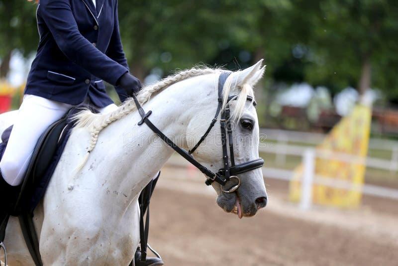 Canter novo bonito do cavalo do esporte durante o treinamento fora fotografia de stock royalty free
