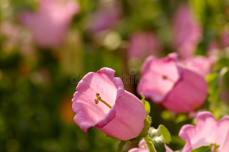 Canterbury-bells. (Campanula medium L stock photography