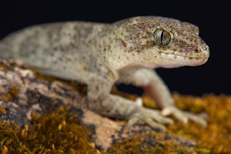 Canterbury-Gecko Woodworthia-brunneus stockbild