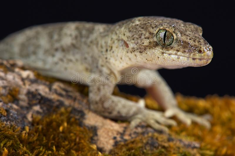 Canterbury gecko Woodworthia brunneus. The Canterbury gecko Woodworthia brunneus is a beautiful lizard species endemic to New Zealand stock image