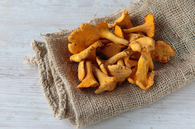 Cantharellus mushrooms stock photography