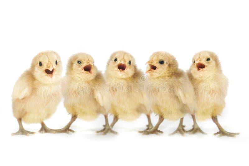 Canto allineato pulcini gialli svegli del bambino immagini stock