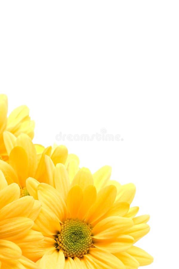 Canto amarelo da margarida imagens de stock royalty free