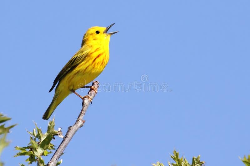 Canto da toutinegra amarela (petechia do Dendroica) foto de stock royalty free