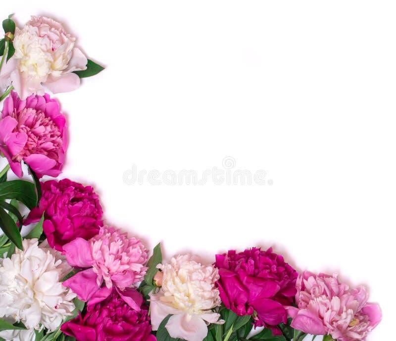 Canto das peônias isoladas em um fundo branco Fundo floral do projeto?, contexto, projeto da ilustração Flores cor-de-rosa e roxa imagem de stock