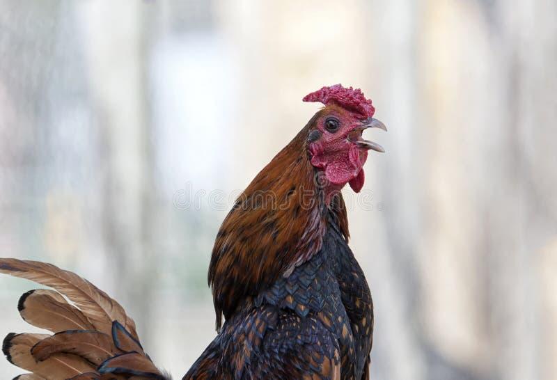 Canto del gallo fotografia stock libera da diritti