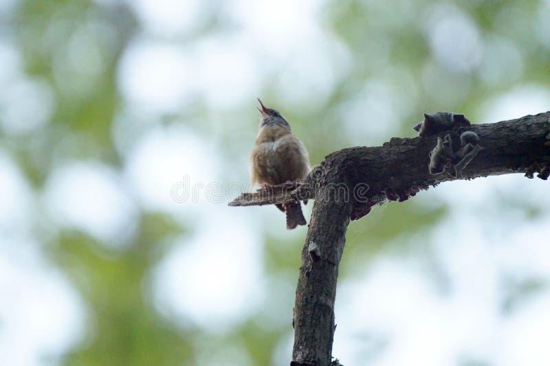 Canto del pájaro fotos de archivo