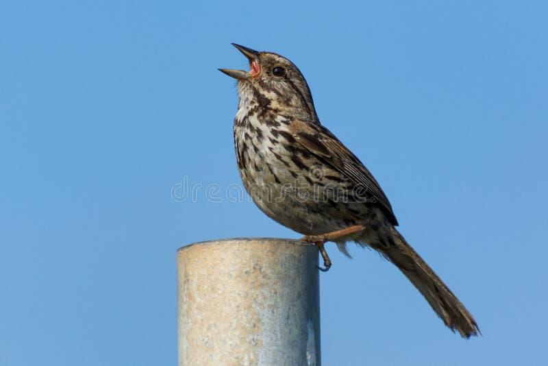 Canto dell'uccello del passero di canzone fotografia stock