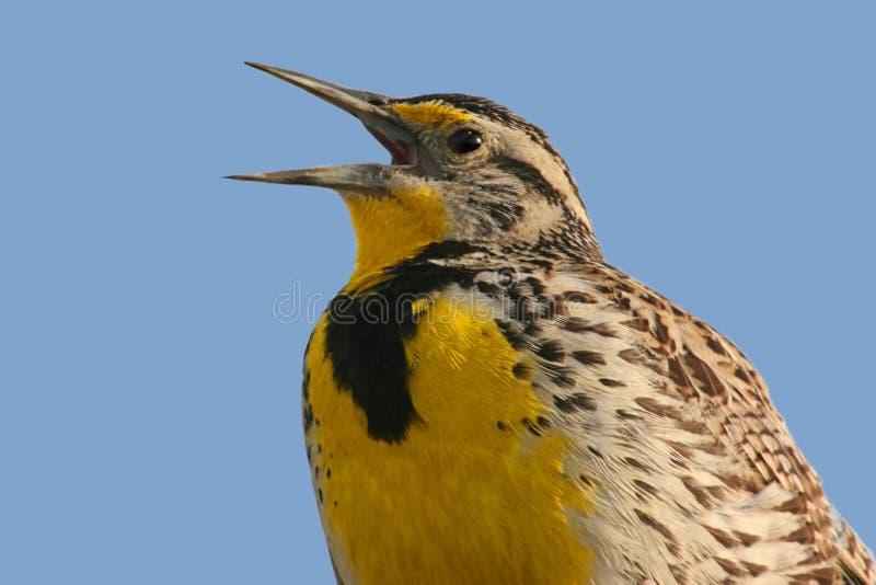 Canto dell'uccello (Meadowlark) fotografie stock