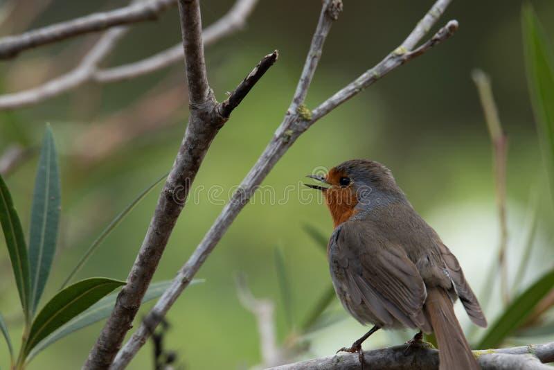 Canto europeu do rubecula do Erithacus do pisco de peito vermelho foto de stock
