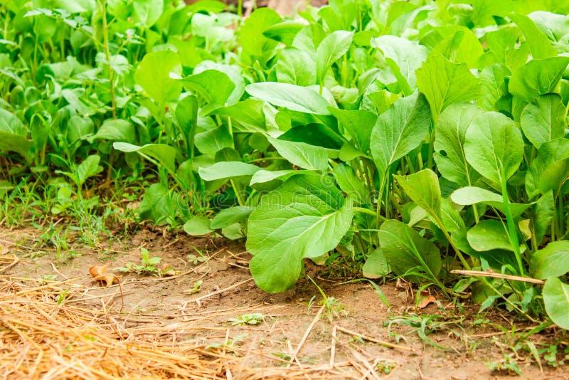 Cantonesegrönsaker arkivbilder