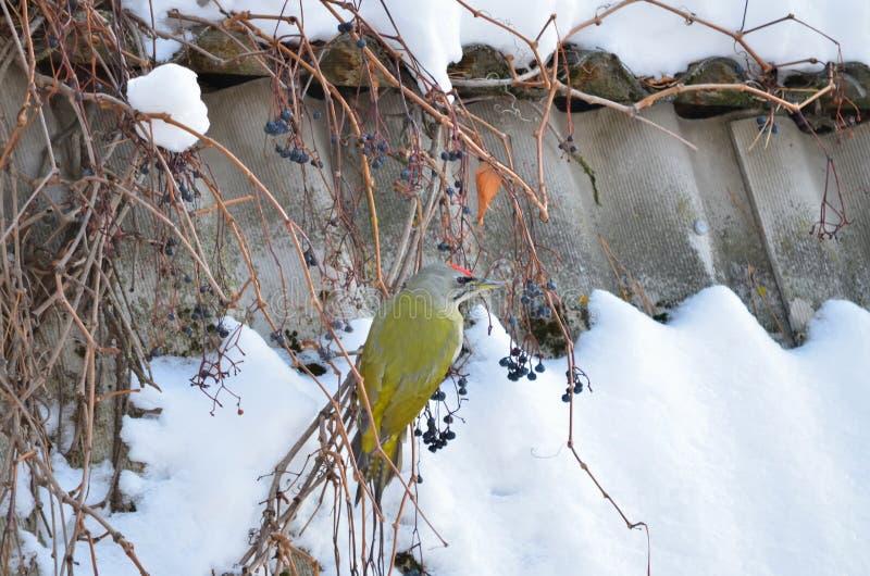 canus à tête grise de Picus de pivert photos libres de droits