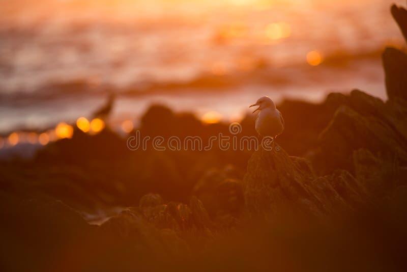 Canus de Larus La faune de la Norv?ge Belle illustration De la vie des oiseaux Nature libre ?le de Runde en Norv?ge Wildl scandin photo stock