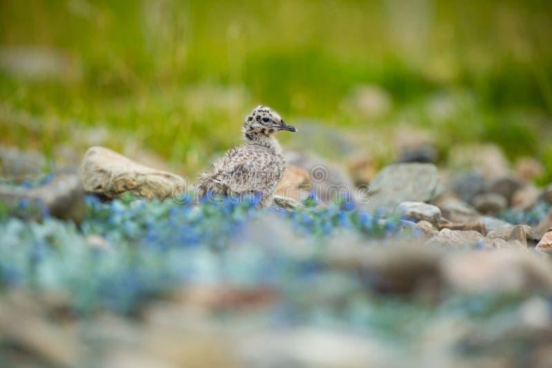 Canus del Larus La fauna de Noruega Cuadro hermoso A partir de la vida de p?jaros Naturaleza libre Isla de Runde en Noruega Wildl foto de archivo