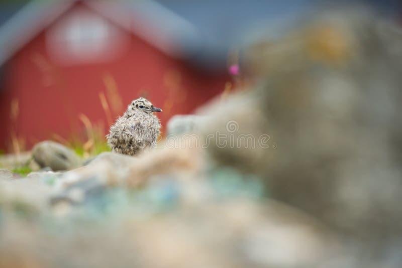 Canus del Larus La fauna de Noruega Cuadro hermoso A partir de la vida de p?jaros Naturaleza libre Isla de Runde en Noruega Wildl imagen de archivo libre de regalías