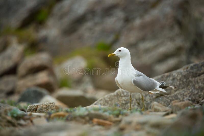 Canus di larus La fauna selvatica della Norvegia Bella maschera A partire dalla vita degli uccelli Natura libera Isola di Runde i immagini stock libere da diritti