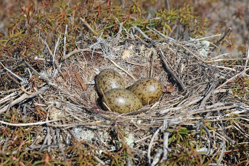 Canus di larus Nido con la frizione delle uova del gabbiano di miagolio fra la tundra in Siberia del Nord fotografia stock