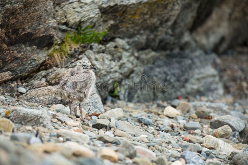 Canus do Larus Os animais selvagens de Noruega Retrato bonito Da vida dos p?ssaros Natureza livre Ilha de Runde em Noruega Wildl  fotos de stock