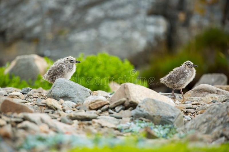 Canus do Larus Os animais selvagens de Noruega Retrato bonito Da vida dos p?ssaros Natureza livre Ilha de Runde em Noruega Wildl  imagem de stock royalty free