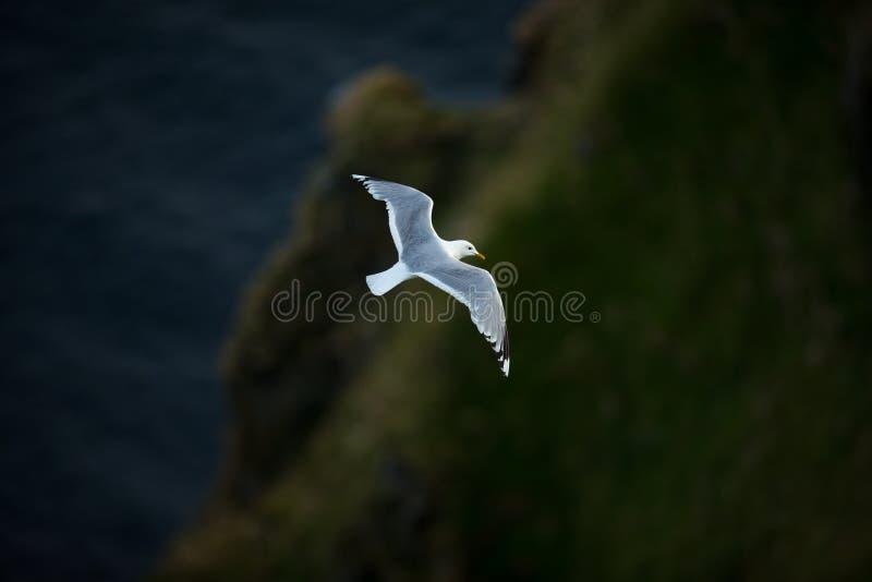 ??canus E 美好的图片 从鸟生活  自由自然 r 斯堪的纳维亚wildl 库存图片