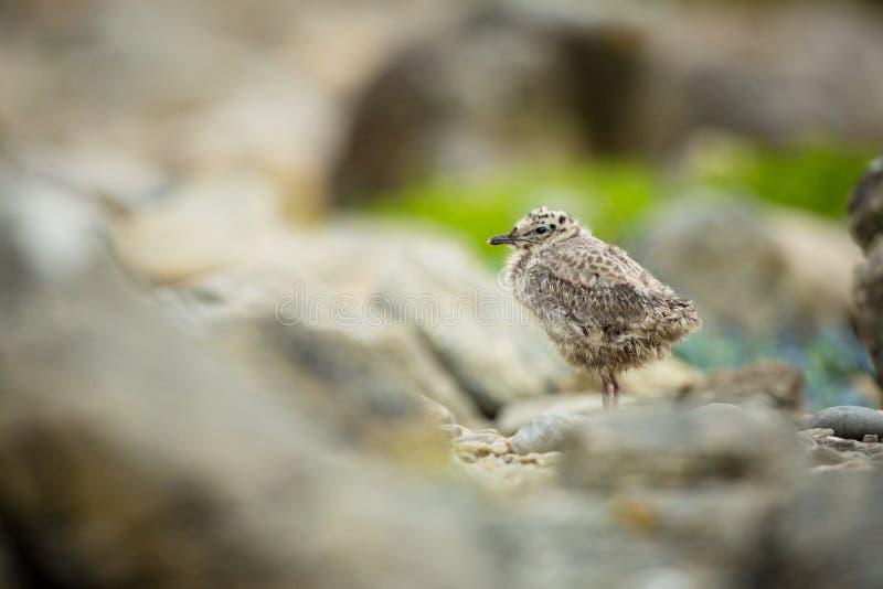 ??canus E 美好的图片 从鸟生活  自由自然 r o 免版税库存照片