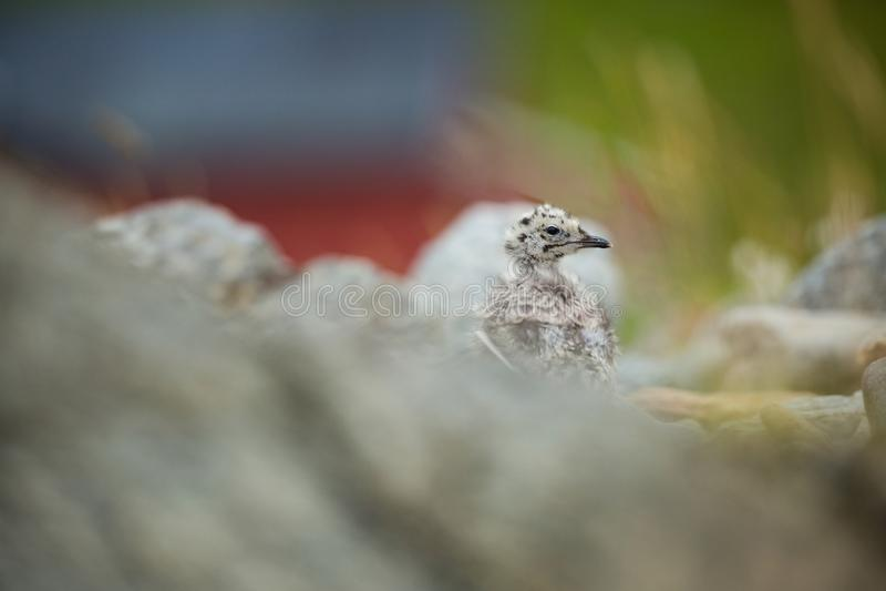 Canus Larus Άγρια φύση της Νορβηγίας Όμορφη εικόνα Από τη ζωή των πουλιών Ελεύθερη φύση Νησί Runde στη Νορβηγία Σκανδιναβικό wild στοκ εικόνες