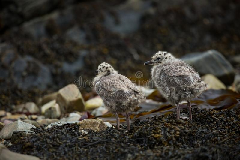 Canus Larus Άγρια φύση της Νορβηγίας Όμορφη εικόνα Από τη ζωή των πουλιών Ελεύθερη φύση Νησί Runde στη Νορβηγία Σκανδιναβικό wild στοκ φωτογραφία με δικαίωμα ελεύθερης χρήσης