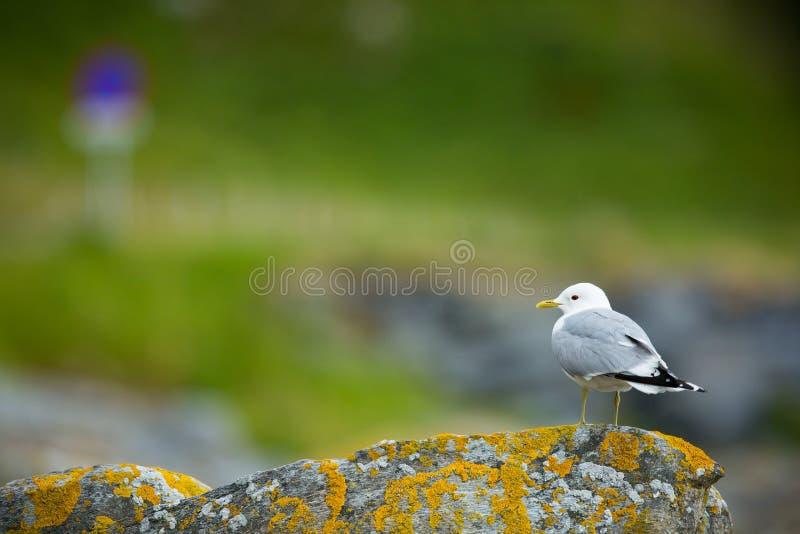 Canus Larus Άγρια φύση της Νορβηγίας Όμορφη εικόνα Από τη ζωή των πουλιών Ελεύθερη φύση Νησί Runde στη Νορβηγία Σκανδιναβικό wild στοκ εικόνα