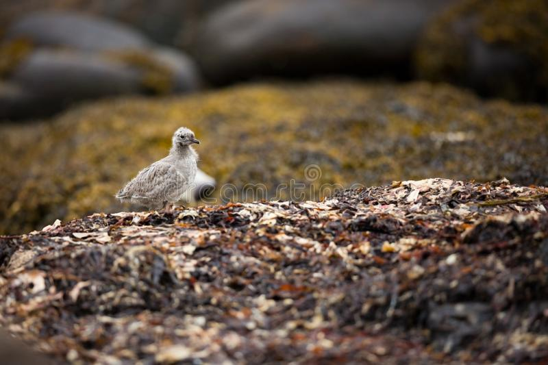 Canus Larus Άγρια φύση της Νορβηγίας Όμορφη εικόνα Από τη ζωή των πουλιών Ελεύθερη φύση Νησί Runde στη Νορβηγία Σκανδιναβικό wild στοκ εικόνες με δικαίωμα ελεύθερης χρήσης