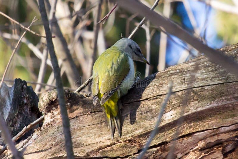 Canus Picus, седовласый Woodpecker стоковое изображение