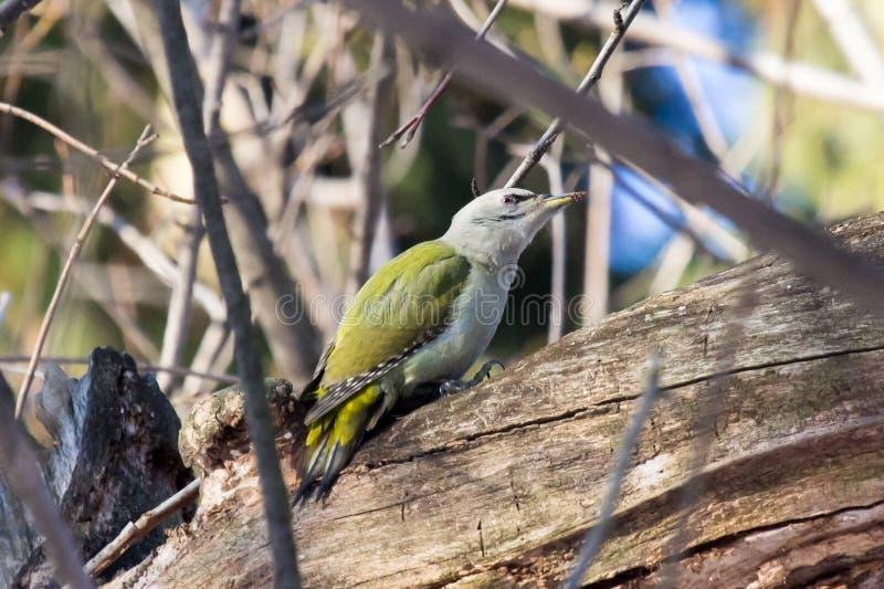 Canus Picus, седовласый Woodpecker стоковые фотографии rf