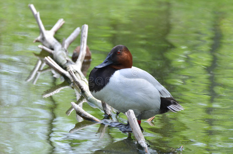 Canvasback duck3. A canvasback duck perches over the water on a fallen branch royalty free stock image