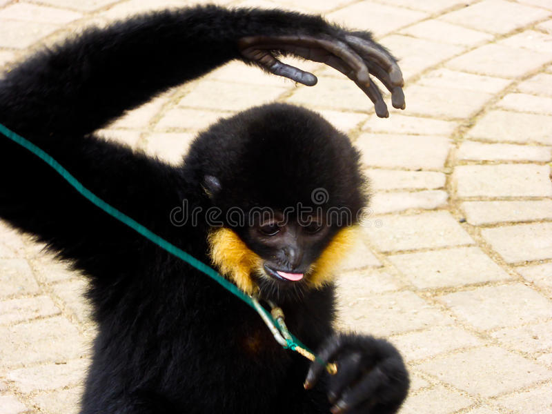 Cao-vit Crested Gibbon spitting tongue stock photo