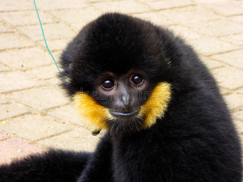 Cao-vit Crested Gibbon staring stock images