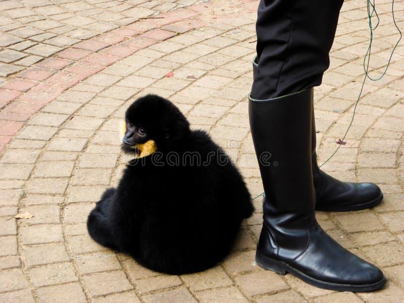 Cao-vit Gibbon com crista foto de stock royalty free