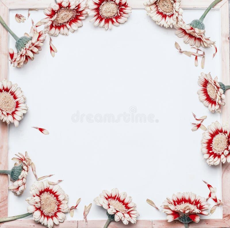 Capítulo de flores blancas bastante rojas en el fondo blanco en blanco de la pizarra, visión superior fotografía de archivo libre de regalías