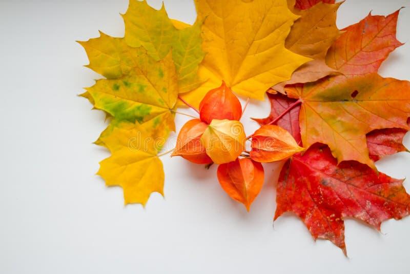 Capítulo de las hojas de arce del amarillo del otoño, anaranjadas y rojas, Physalis aislado en el fondo blanco, visión superior,  fotografía de archivo
