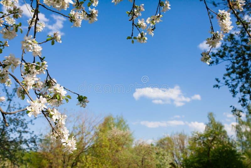 Capítulo de las ramas de la manzana floreciente y del cielo azul fotos de archivo libres de regalías