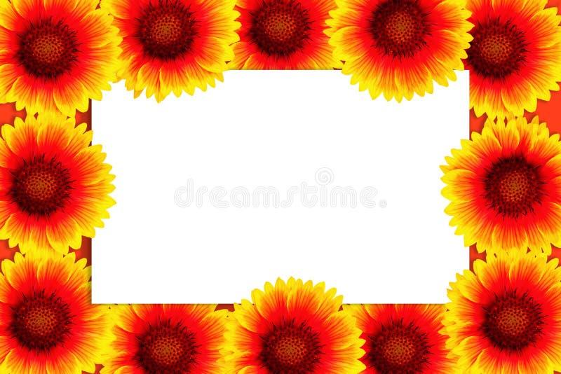 Capítulo del gaillardia brillante de las flores alrededor del marco blanco aislado Maqueta con la postal Endecha plana, visión su imagen de archivo libre de regalías
